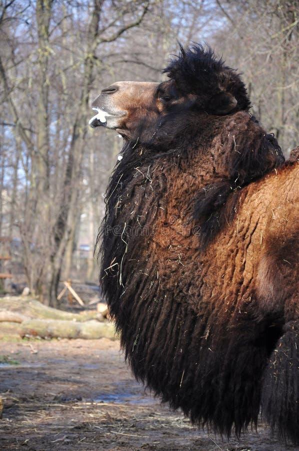 сердитый верблюд стоковые изображения
