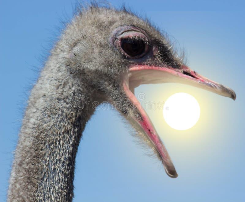Сердитый конец страуса вверх по портрету, закрывает вверх по страусу голова ест солнце стоковое фото rf
