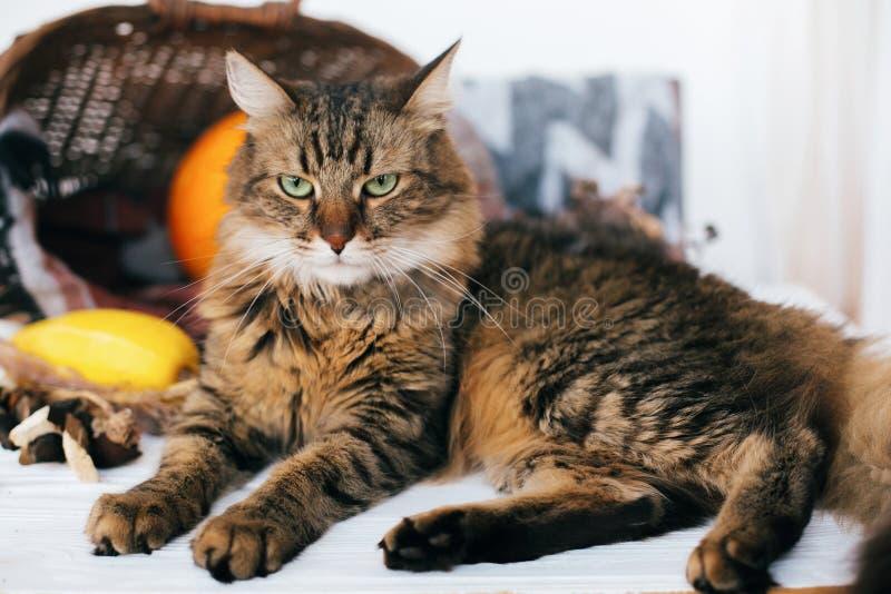 Сердитый кот tabby сидя на тыкве и цукини в уютной лозе b стоковые фото