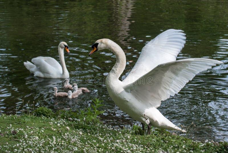 Сердитый мужской лебедь защищая свои маленькие молодые лебедей стоковые фото