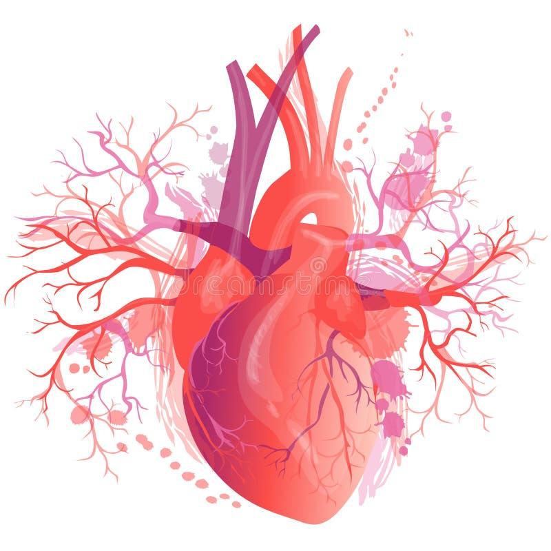 Сердце вектора реалистическое человеческое иллюстрация вектора