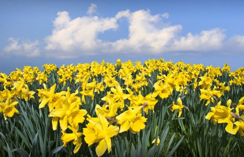 Сердце влюбленности цветков Daffodils стоковые изображения rf