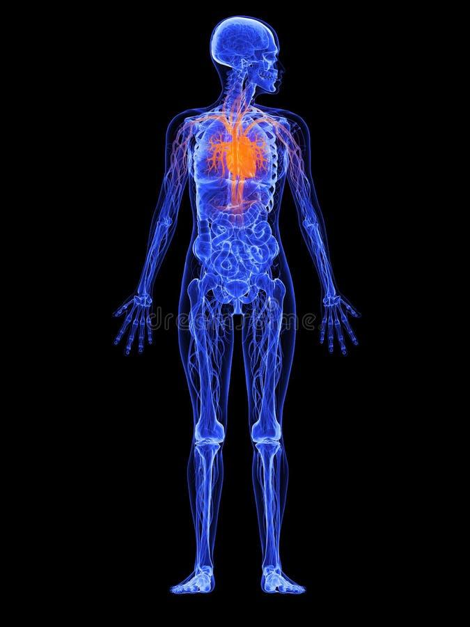 сердце женщины анатомирования бесплатная иллюстрация