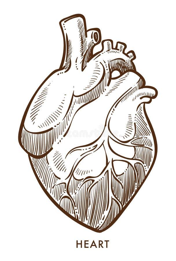 Сердце изолировало эскиз, сердечно-сосудистую систему, внутренний орган иллюстрация вектора