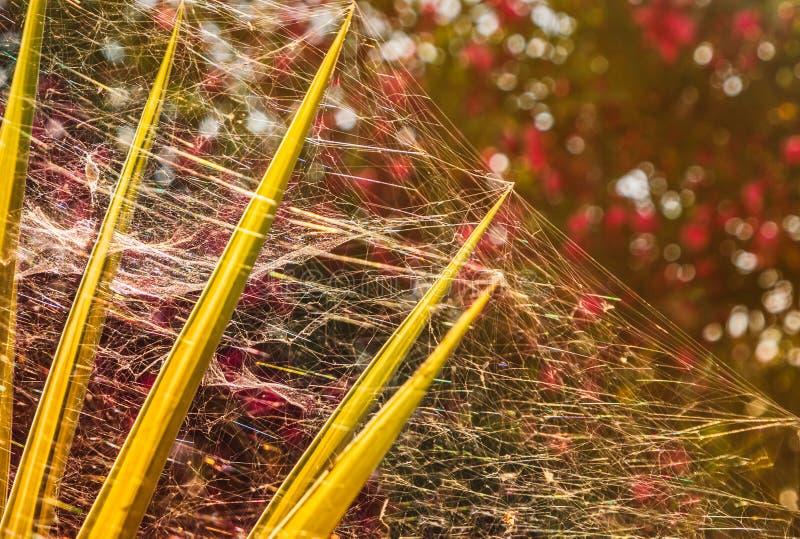 Серебряная сетка сети паука принимая над целым завода юкки и сверкая в солнечности стоковая фотография