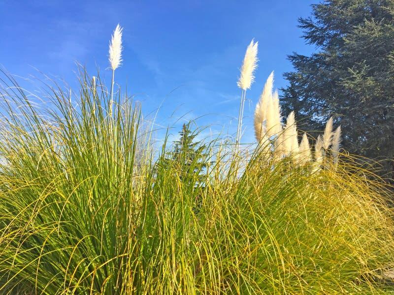 Серебряная трава Пампаса на испанской деревне стоковые изображения rf