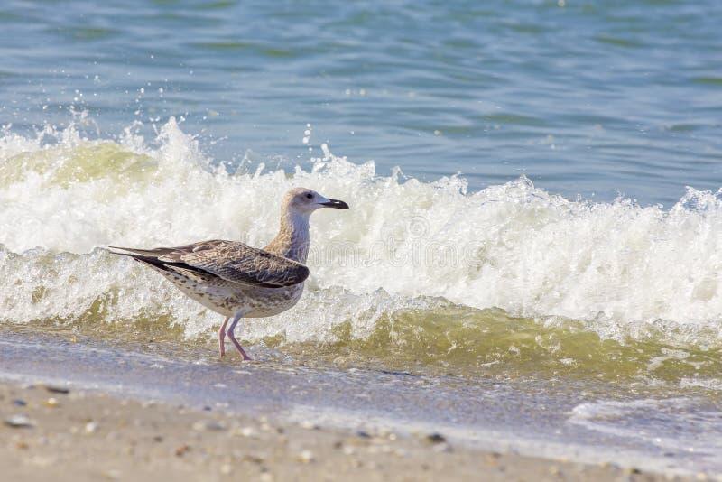 Серебряная чайка на румынском пляже стоковая фотография