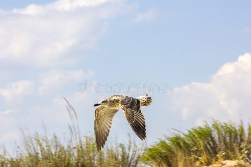 Серебряное летание чайки стоковые изображения rf