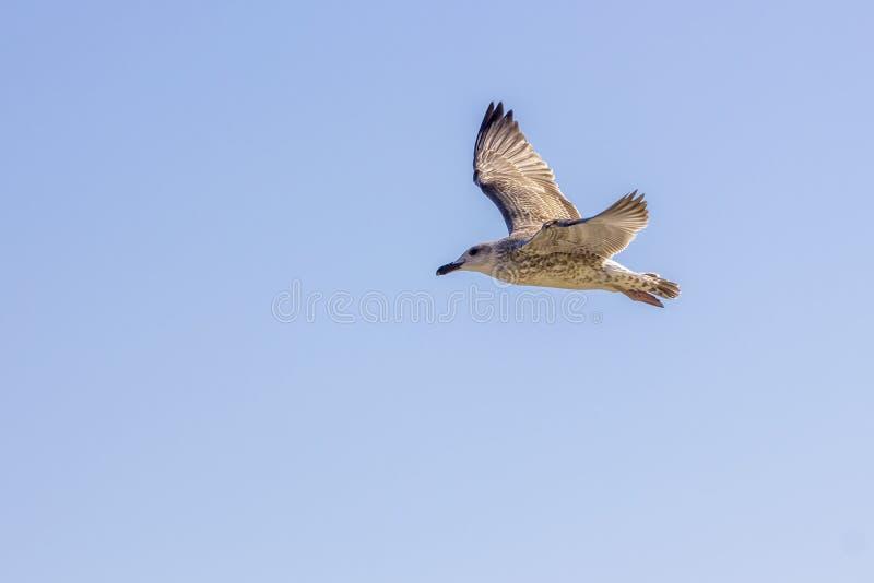 Серебряное летание чайки стоковая фотография rf