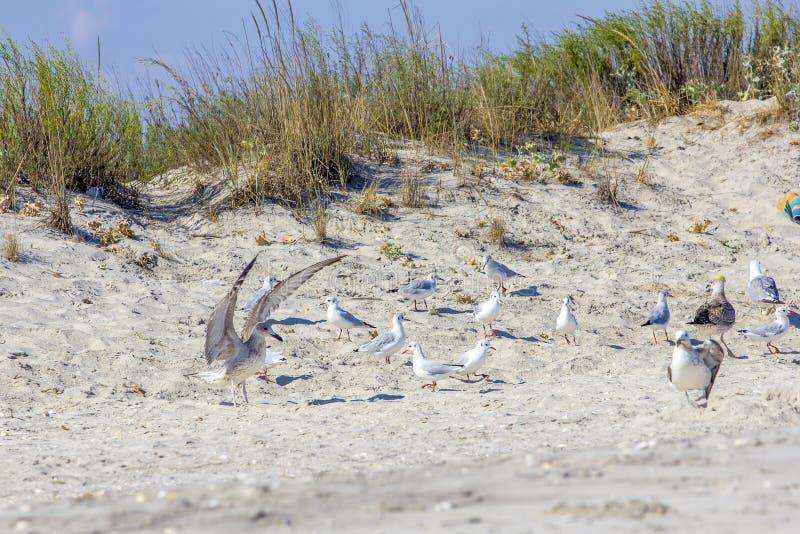 Серебряные чайки на румынском пляже стоковые фото