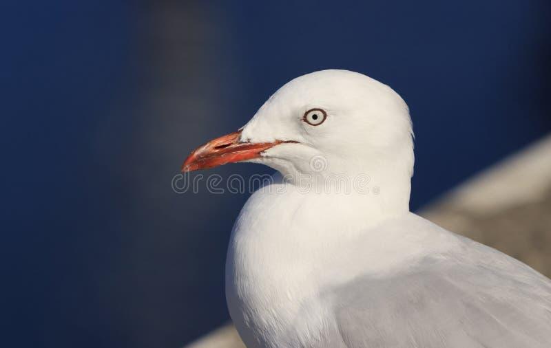 Серебряный портрет чайки с космосом экземпляра стоковые фото
