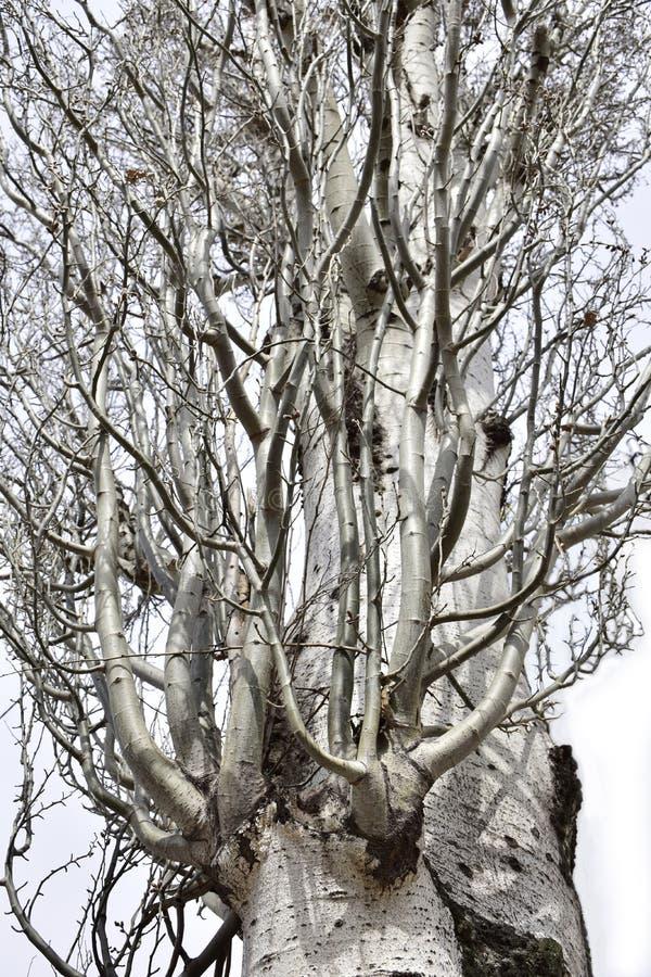 Серебряный тополь весной стоковая фотография rf