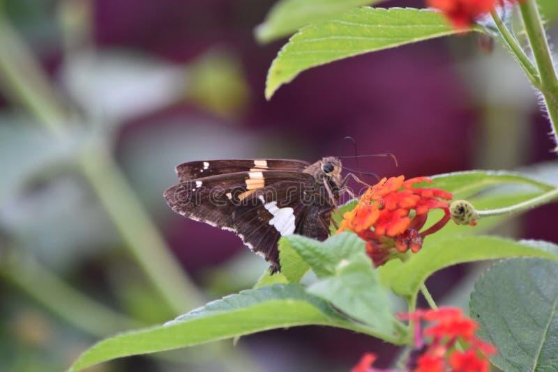 Серебр-запятнанная бабочка шкипера на Milkweed стоковая фотография rf
