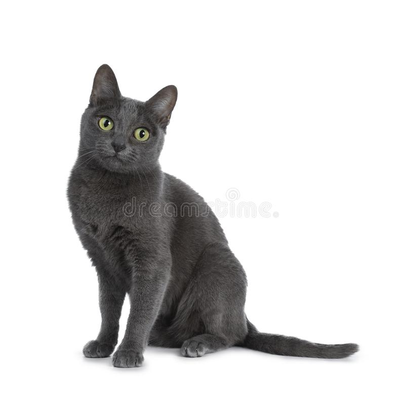 Серебр наклонил голубого кота Korat взрослого, изолированного на белой предпосылке стоковые фотографии rf