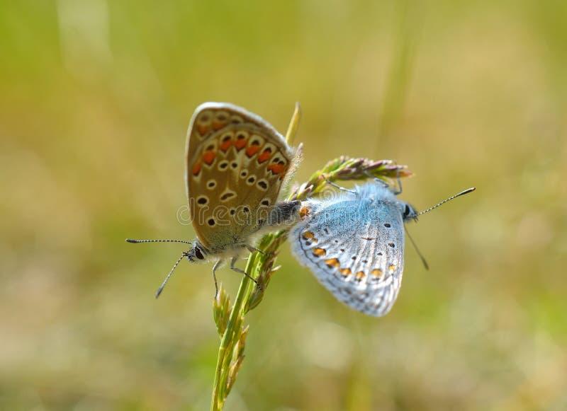 Серебр-обитая голубая бабочка - Plebejus argus стоковая фотография rf