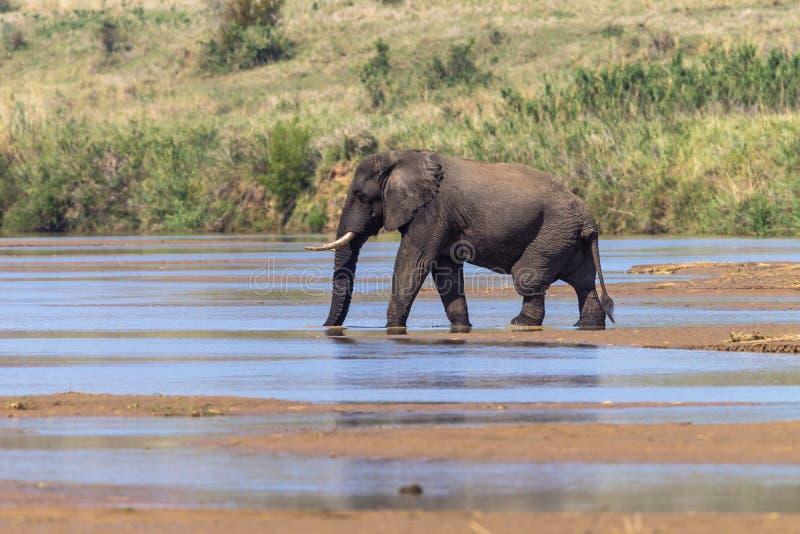 Середина реки слона Bull стоковое изображение rf