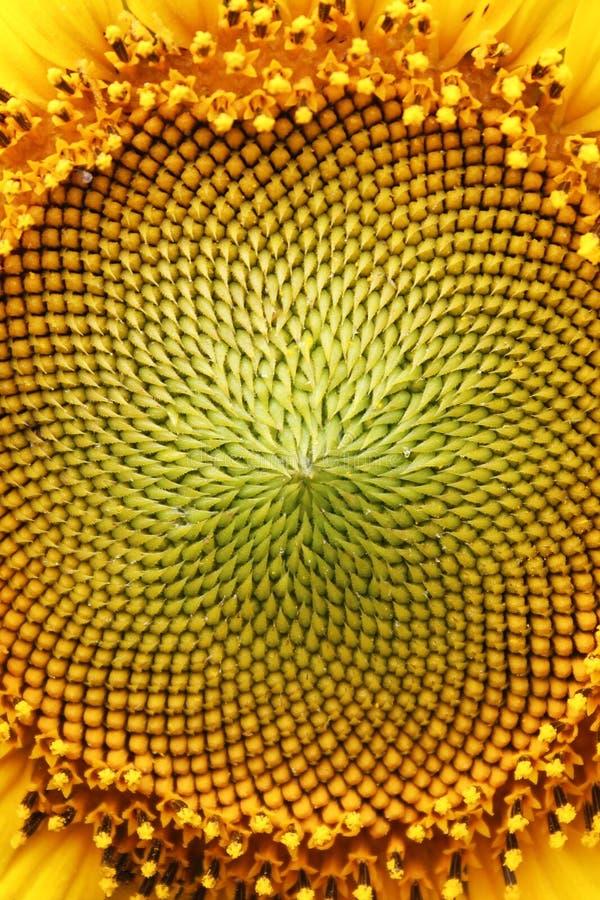 Середина солнцецвета стоковая фотография rf
