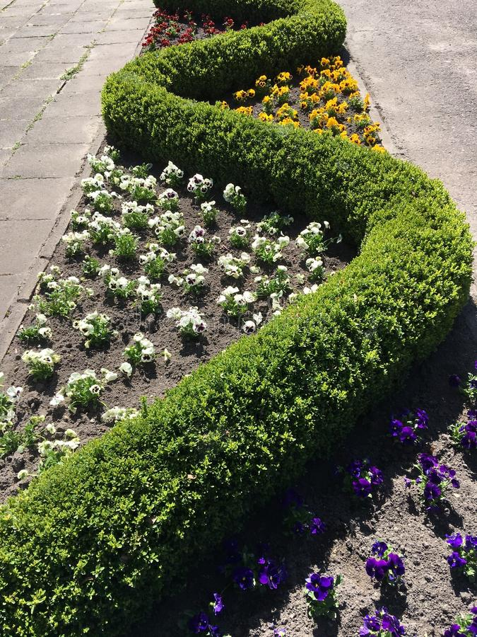 Серии белых, желтых, фиолетовых и фиолетовых pansies цветут стоковые фото