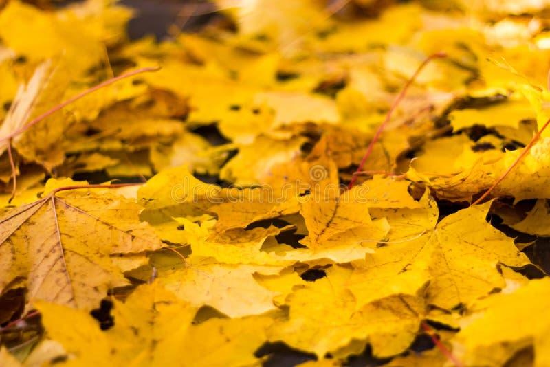 Серии желтых кленовых листов осени на том основании закрывают вверх на солнечный день падение лист Сухие листья под ногами стоковое фото rf