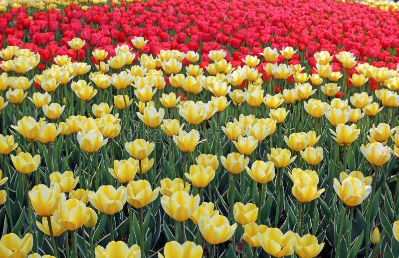 Серии желтых тюльпанов на flowerbed стоковое фото rf