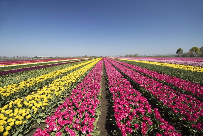 Серии одиночных покрашенных цветков тюльпана на голубом небе стоковая фотография rf