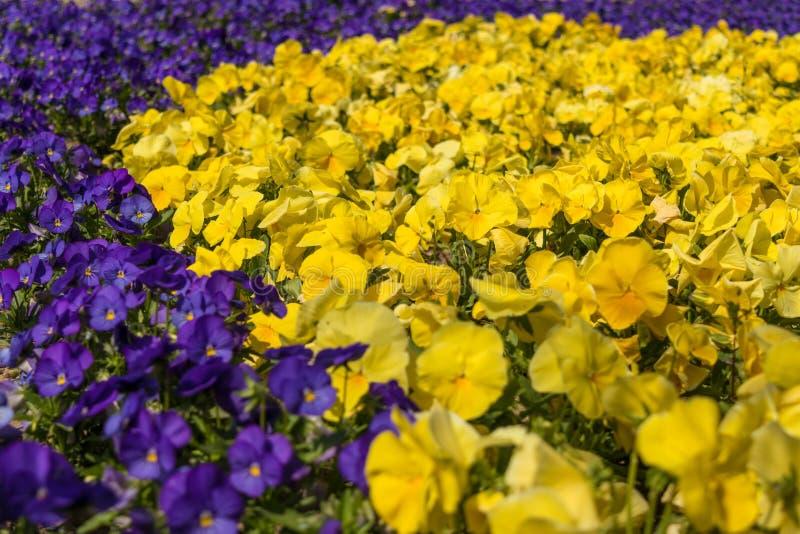 Серии цвета pansies цветков яркого желтого и цвета фиолета в саде скачут стоковое изображение