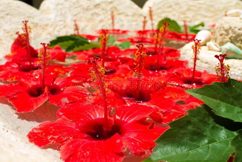 Серии ярких красных цветков бутонов гибискуса и зеленых листьев плавая в чистую воду стоковые изображения rf