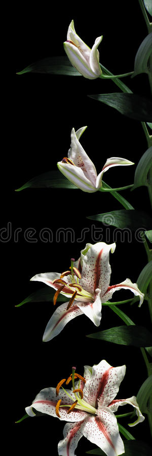 Серия Врем-упущения лилии Стоковые Фотографии RF