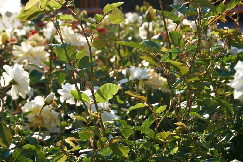Серия красивых белых тюльпанов на цветнике стоковое изображение rf