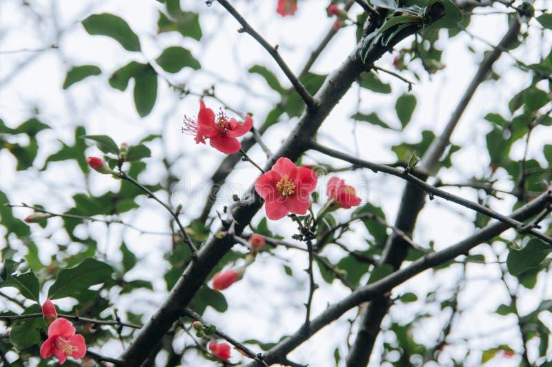 Серия цветков весны: Японская айва весной стоковые фото