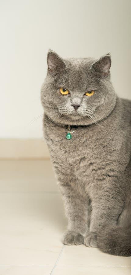 Серое великобританское Shorthair стоковая фотография rf