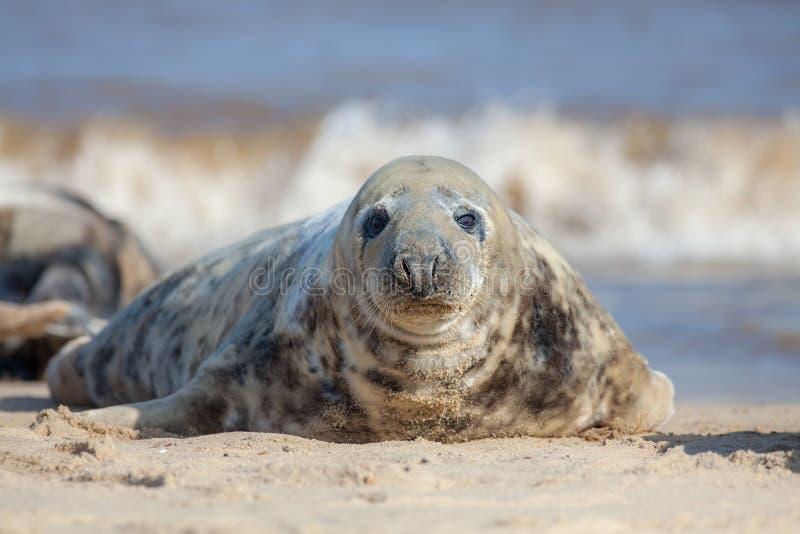 Серое изображение портрета уплотнения Красивое морское млекопитающее смотря камеру стоковое изображение rf