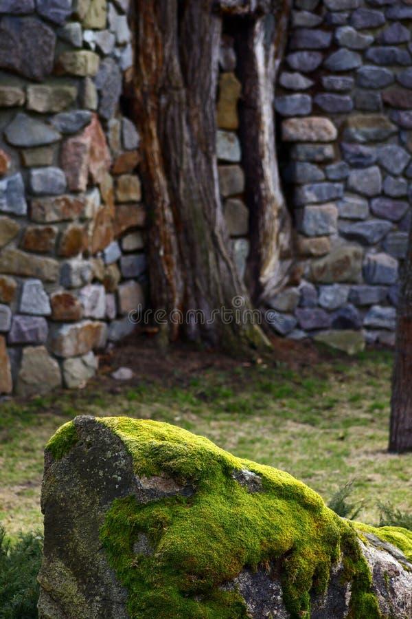 Серое каменное перерастанное с зеленым и серым мхом на предпосылке 2 стволов дерева в стене выровнялось с серыми камнями стоковое фото rf