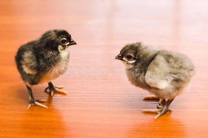 2 серое меньшие цыплята на деревянной поверхности стоковое фото rf