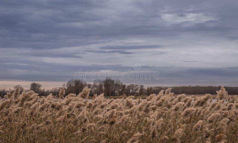 Серое небо и желтые тростники над рекой осени стоковая фотография rf