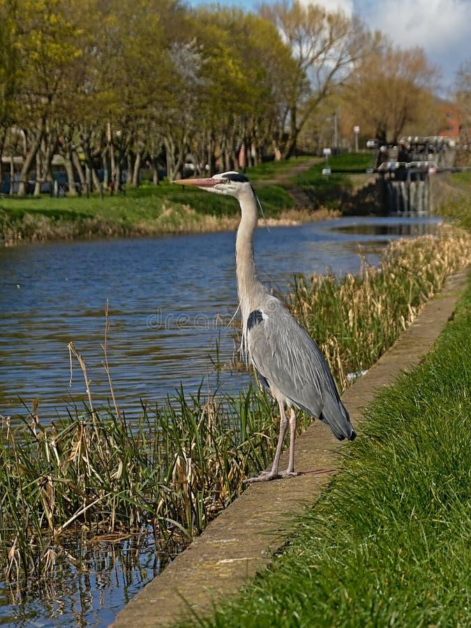 Серое положение вдоль канала - Ardea цапли cinerea стоковая фотография rf