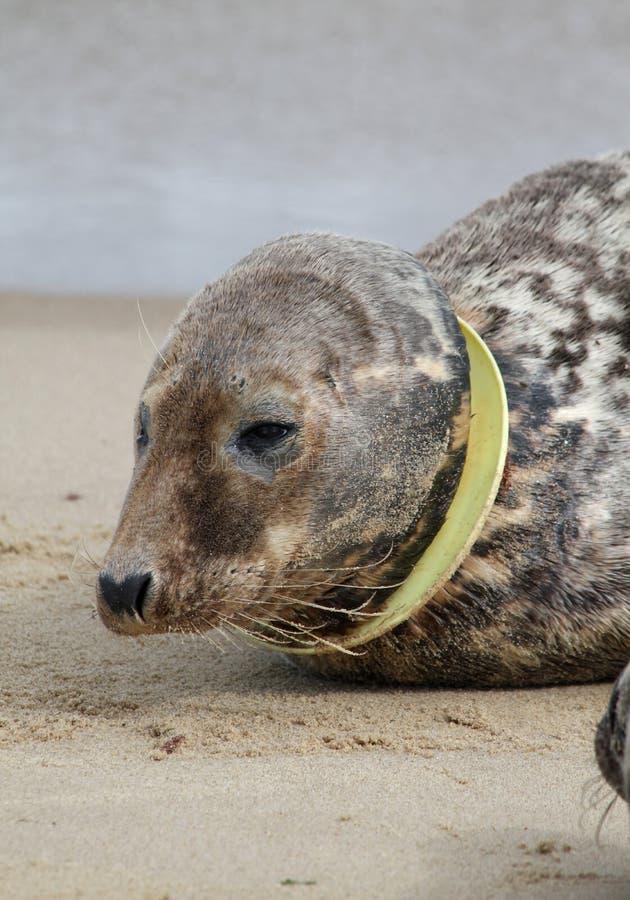 Серое уплотнение с frisbee вокруг своей шеи, пластиковое загрязнение, пляж Норфолка, песчанные дюны, Horsey, Англия стоковые изображения rf