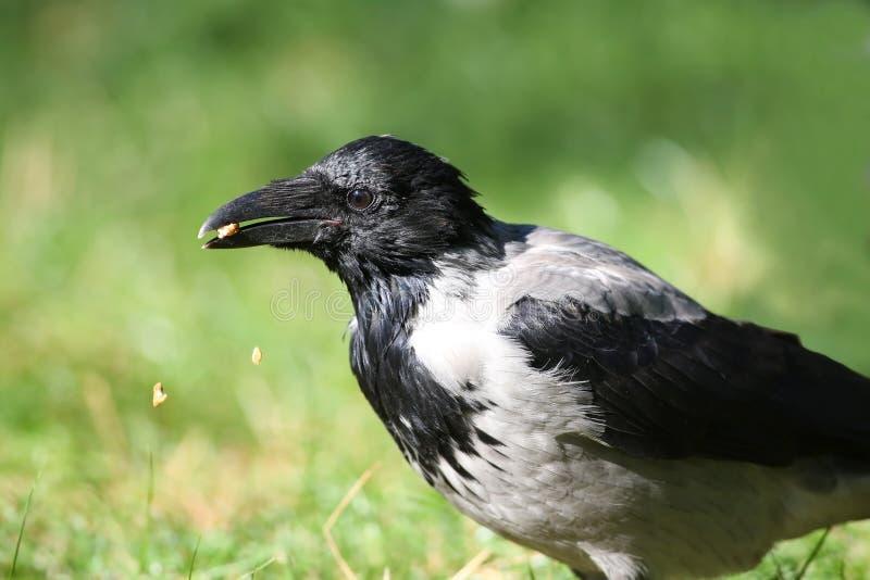 Серое cornix corone Corvus вороны ест гайки, части гаек падает в траву стоковое фото rf
