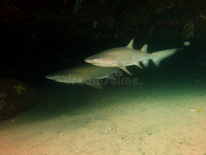 Серые акулы медсестры стоковое фото rf