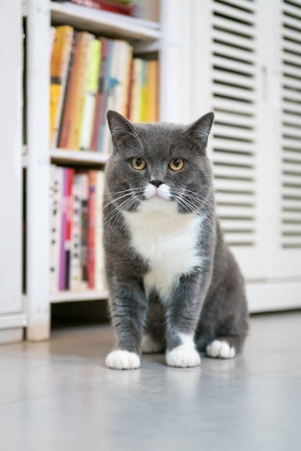 Серые великобританские коты shorthair, внутри помещения стоковые изображения rf