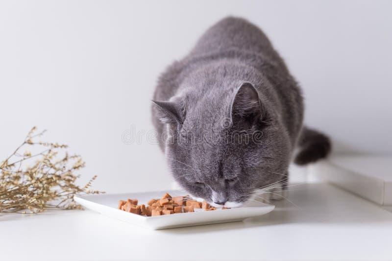 Серые великобританские коты shorthair едят мясо стоковые изображения