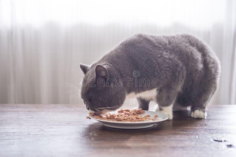 Серые великобританские коты shorthair едят стоковое фото rf