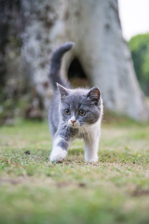 Серые великобританские коты shorthair стоковое изображение rf