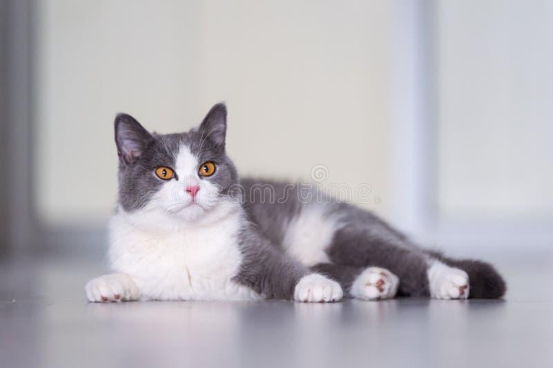 Серые великобританские коты shorthair стоковое изображение