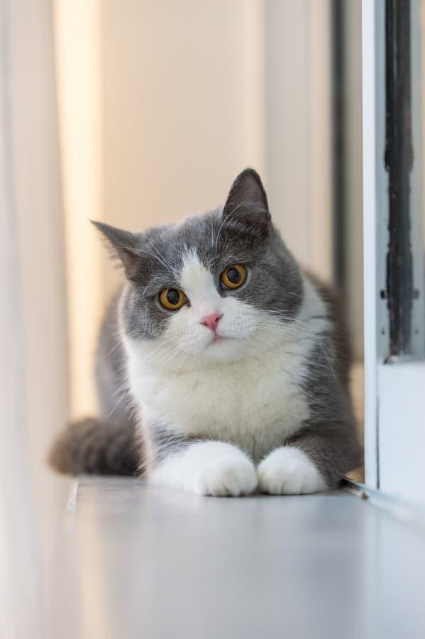 Серые великобританские коты shorthair стоковые фотографии rf