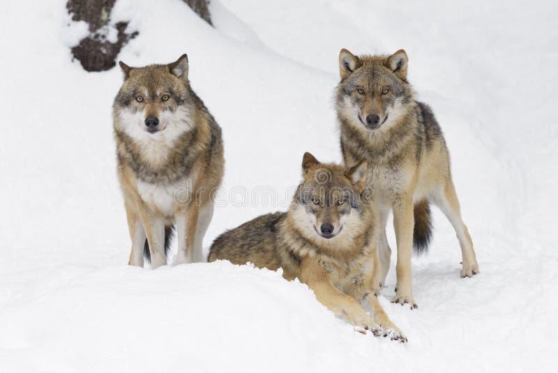 Серые волки в зиме стоковое фото rf