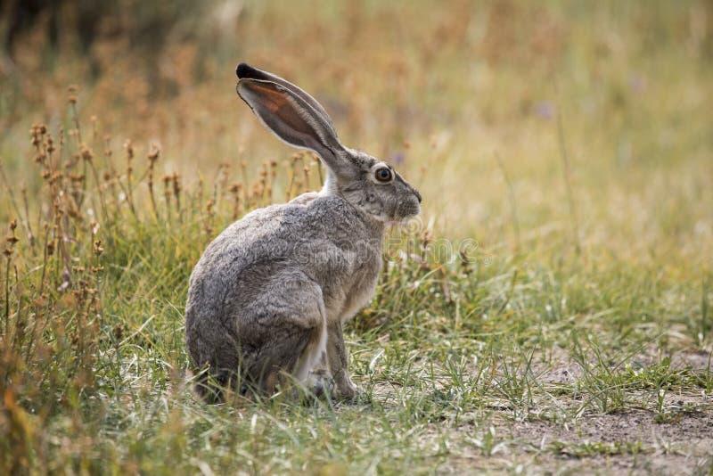 серые зайцы стоковая фотография