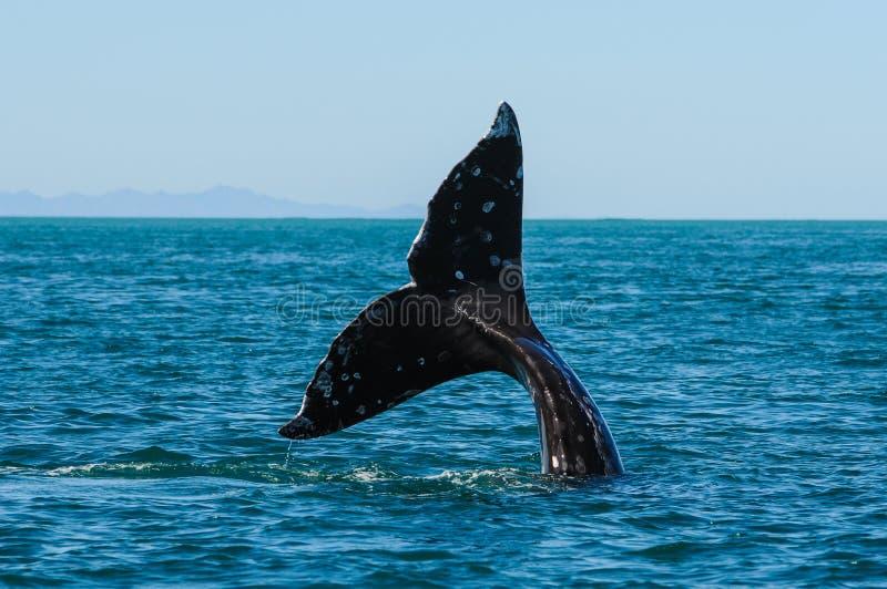 Серые киты (robustus) Eschrichtius, Мексика