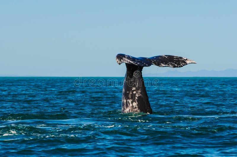 Серые киты (robustus) Eschrichtius, Мексика стоковые фотографии rf