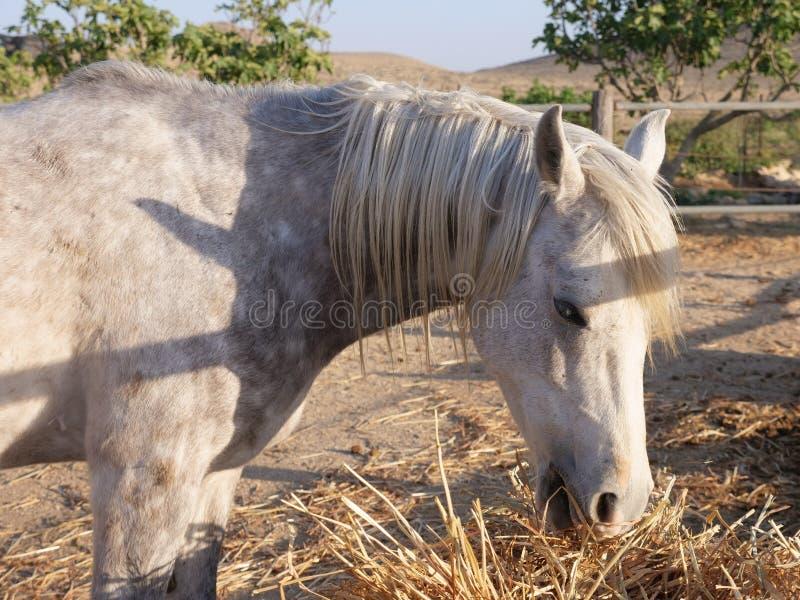 Серые лошадь или пони подавая на высушенном сене стоковое изображение